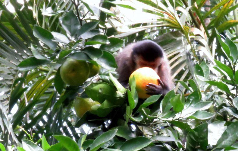 Macacos-prego visitam o Sertão de Barra do Una